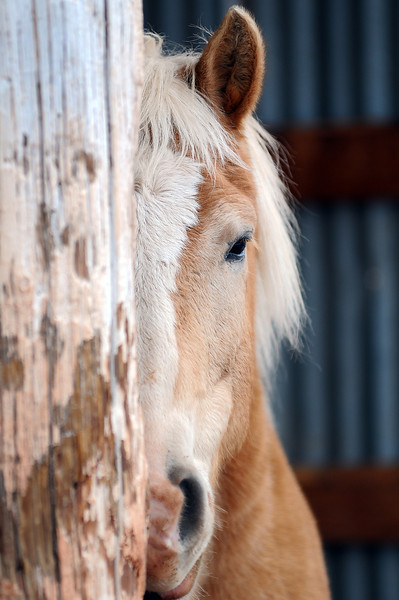 A horse named Rex peeks out from a barn at Hearts and Horses Therapeutic Riding Center on Thursday.