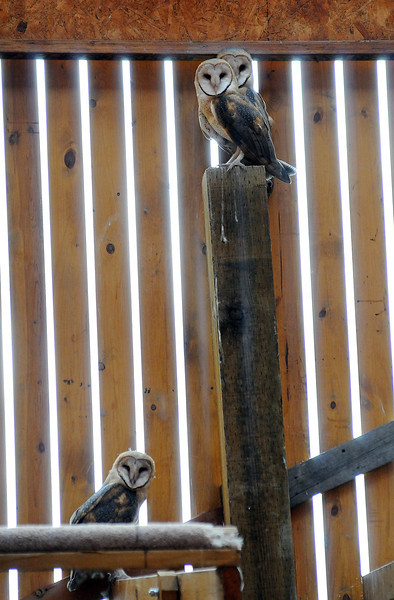 A trio of barn owls look at a visitor in the flight cage at the Rocky Mountain Raptor Program facility in Fort Collins in August.