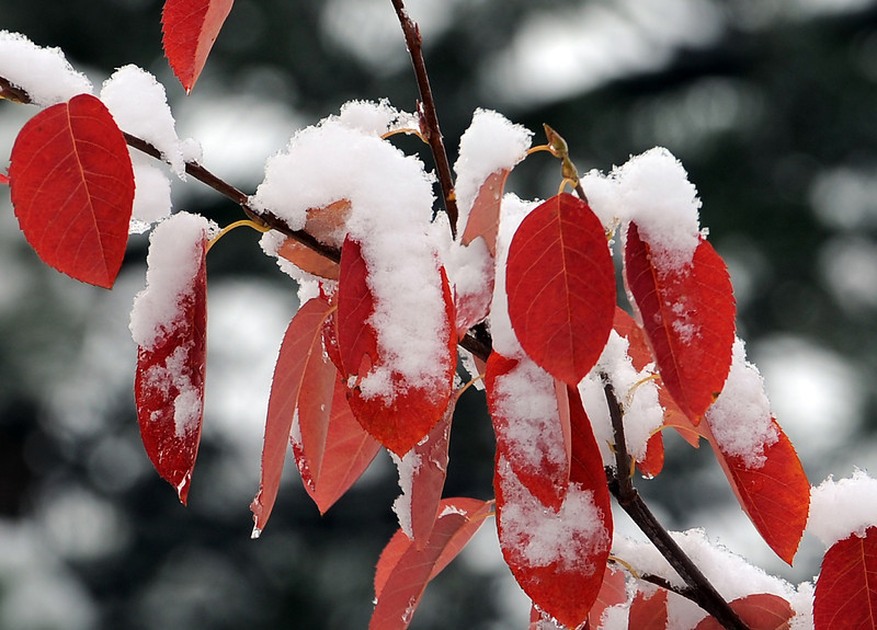 Snow clings to fall colored leaves Thursday morning in Loveland.