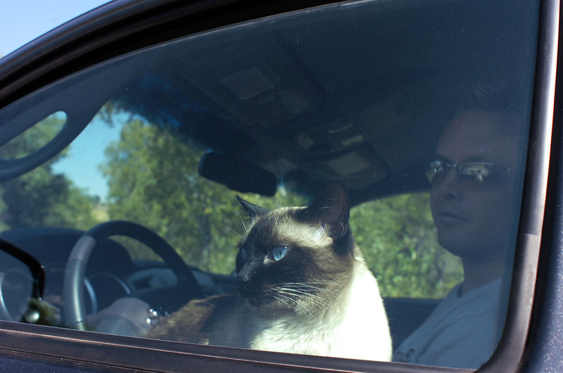 "Kitty, an 8 year-old Siamese cat, looks out the window of her owner Matthew Joy's truck Wednesday while parked along Larimer County Road 31. Joy's other 10 year-old cat Max sits on the passenger seat. Joy said ""They've been at the pound for two days so they don't mind this."" Joy was evacuated from his home during the Reservoir Raod fire west of Loveland."