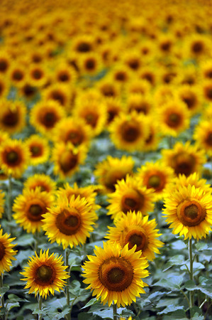 Sunflowers bask in the mid-morning sun at a Berthoud farm Thursday.