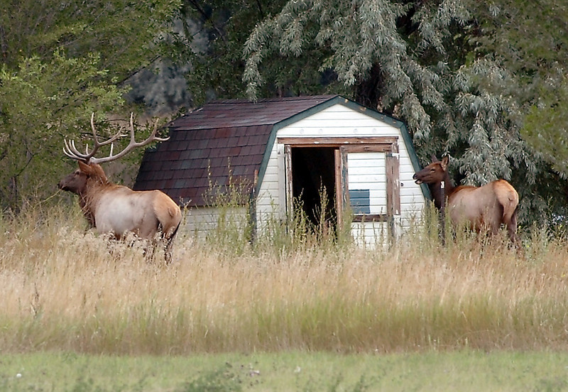 A large bull elk and a cow elk roam around an old barn Tuesday, Sept. 22, 2009, on a private farm near Fairgrounds Park in Loveland.