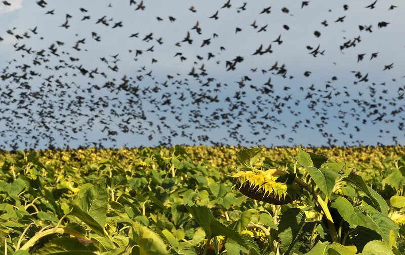 Hundreds of birds take off from a sunflower field just southwest of the intersection of Interstate 25 and Highway 402 on Thursday afternoon. The flock would fly from the sunflowers across Highway 402 to a holding pond and field and then back across the highway to the sunflowers.