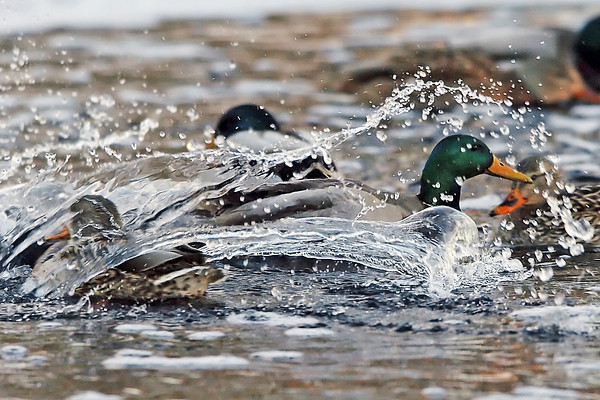 A drake mallard splashes down as it lands amid other ducks paddling around together Friday afternoon on a patch of open water at the Civic Center Park pond.