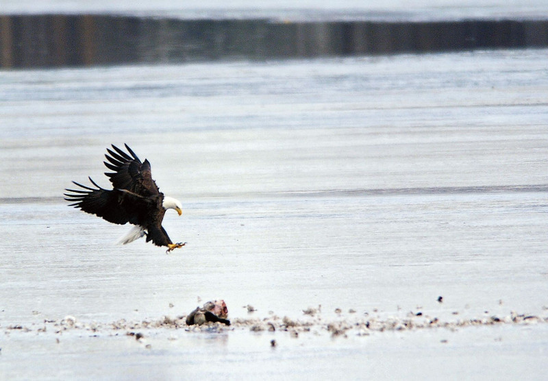 News Tue12 Bald Eagles-eb