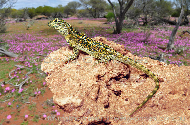 These dragon lizards have relatively short tails and robust bodies. They tend to perch on slightly elevated objects overlooking their, often stony, territories. It pays to always scan the sky for birds of prey