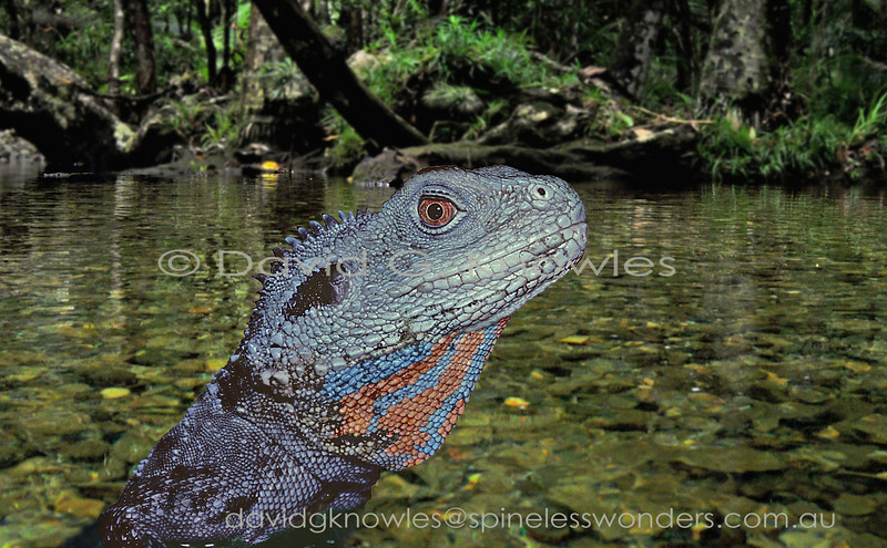 This large dragon is only exceeded in length by the Frilled Lizard though Water Dragons are bulkier. Semiaquatic, they will happily plunge metres from overhanging trees into rivers and creeks. They also can tolerate human development well. Males develop breeding hues on their throats, chests and bellies. This is the southern subspecies