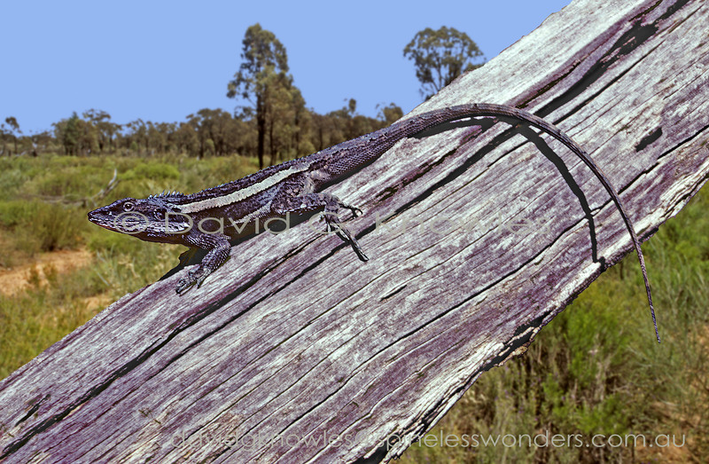 Burn's dragon camouflages well on fallen timber where it is a 'sit and wait' predator