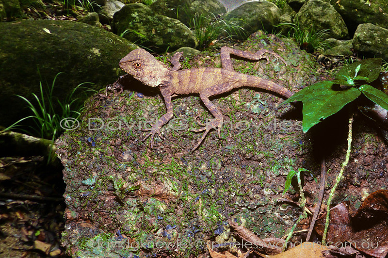 Unlike its southern subtropical rainforest cousin young Boyd's Forest Dragons appear to blend in better with fallen bark than fallen leaves