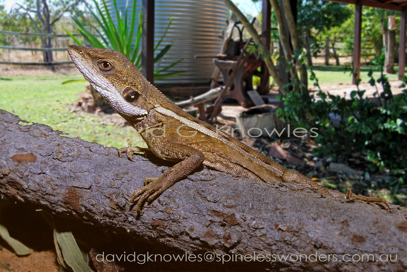 These dragons often enter gardens across northern tropical Australia where their arm-raising signalling behaviour has led to their vernacular common name of  'Ta-ta' lizard. 'Ta-ta' is vernacular Australian for 'goodbye'!