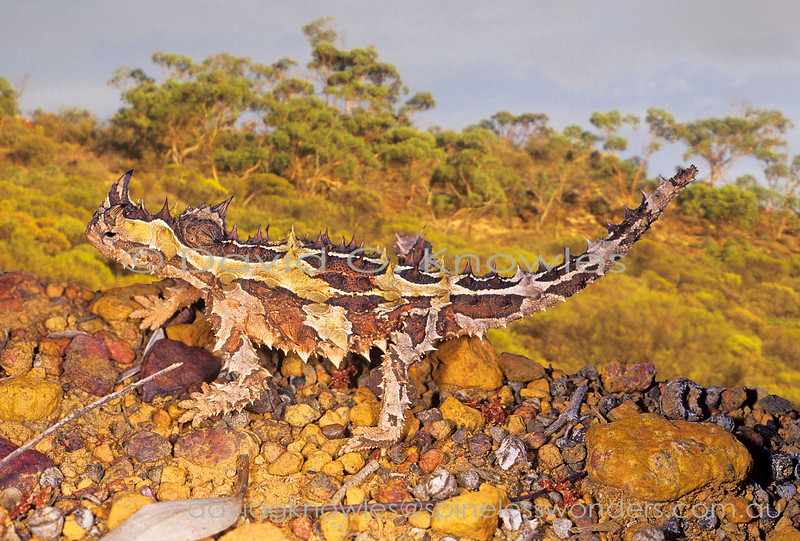 The 'Moloch' is one of the most bizarre lizards on the planet. With its cactus-like thorns; horns over the eyes; false head behind neck; ability to funnel by capillary action water falling on the body into the corners of the mouth and clockwork toy style gait their is nothing like it anywhere