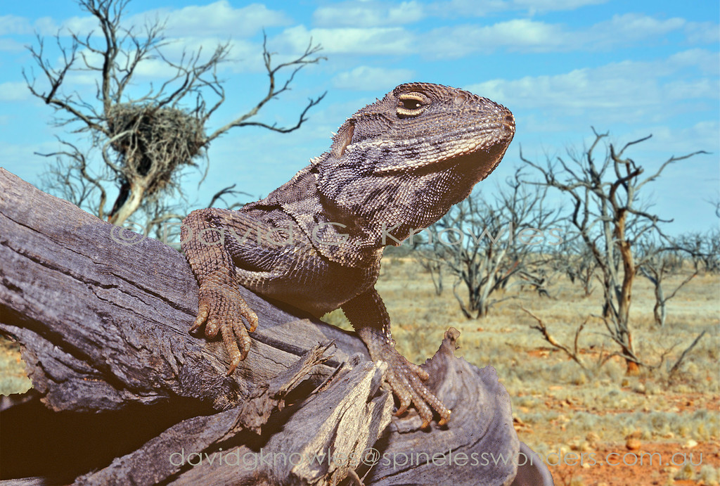 The fastest dragon lizard in Australia takes a breather in a storm-blasted landscape. Australia's largest bird of prey has rebuilt its sturdy nest nearby. Perhaps this two-legged racer will be able to scoot under their radar