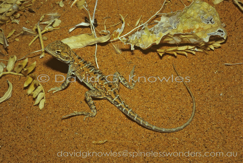 This female Painted Dragon was encountered early in spring. She may well have recently mated as the males had already developed breeding colours. By the end of spring the presence of 2-4 well developed eggs is easily seen by the swollen state of the belly