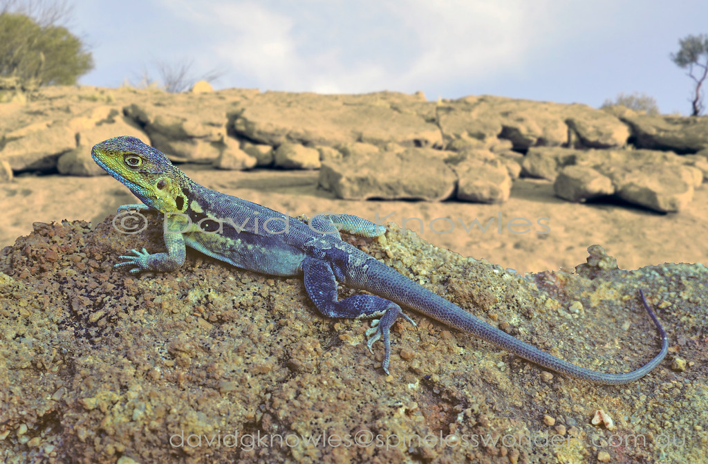 Male Tawny Dragons develop a blue wash in spring. Blue is a relatively uncommon colour in Australian dragons being far more common in breeding males of SE Asian species