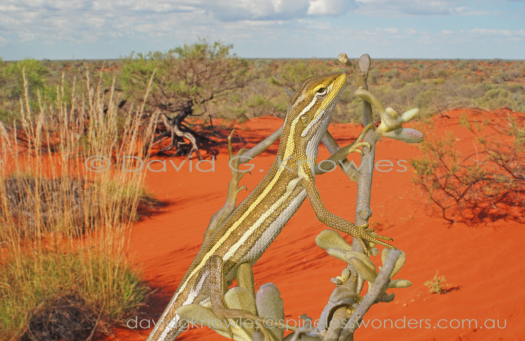 The genus Diporiphora is composed of fourteen small slender species that tend to have two prominent white dorsal body stripes. All described species bar one have been photographed in life. It is only known from a single specimen from the remote north west Kimberley region of Western Australia. This species is strongly associated with arid sand-ridge deserts