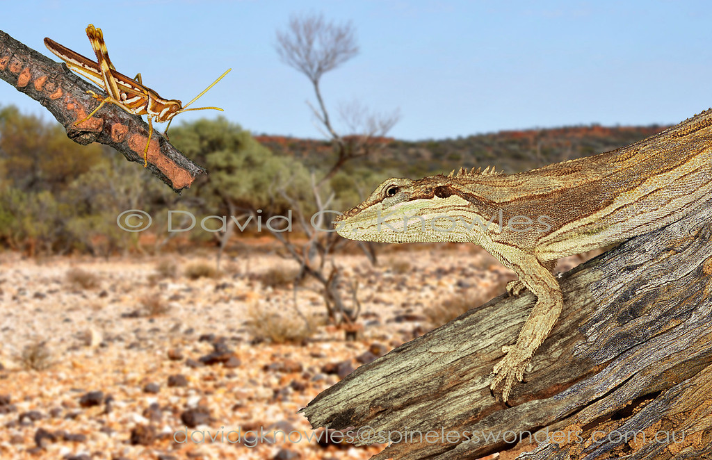Grasshopper species are common in the stony 'mulga' country of arid inland Western Australia. They probably are the mainstay of Caimanops' diet