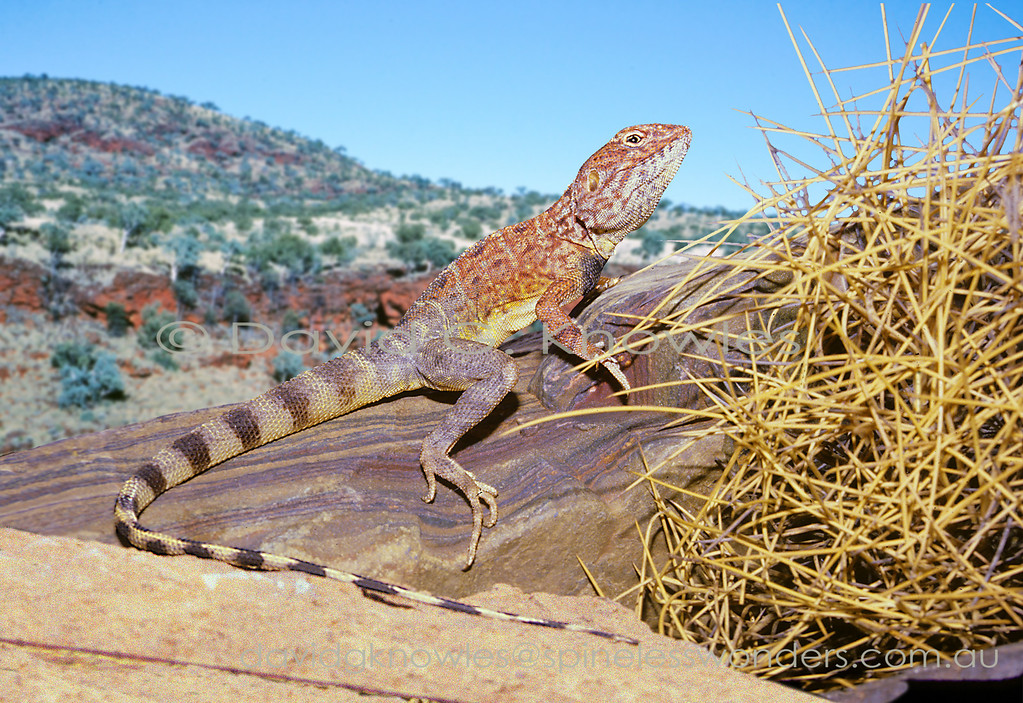 Male dragon lizards are well know for spending the breeding season wearing a risky non-camouflage 'costume' to impress the females. In the case of Ring-tailed dragon males cream turns to yellow markings on flanks; a dark chest patch; tail bands allow observing females to measure male fitness using the intensity of their colours as a benchmark. These dragons are restricted to rocky habitats
