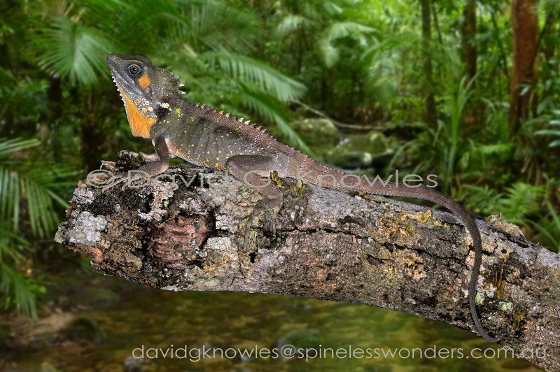 Many rainforest dragon species are difficult to locate during the daylight hours for two reasons; excellent camouflage and 'sit and wait' predation style. However it is not uncommon to encounter sleeping dragons at night. This is a breeding male