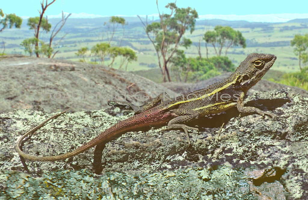 Male dragon lizards are well know for spending the breeding season wearing a risky non-camouflage 'costume' to impress the females. In the case of Common Nobbi dragon males cream turns to yellow markings on back and flanks; a dark shoulder patch; and rosy tail flush allow observing females to measure male fitness using the intensity of their colours as a benchmark