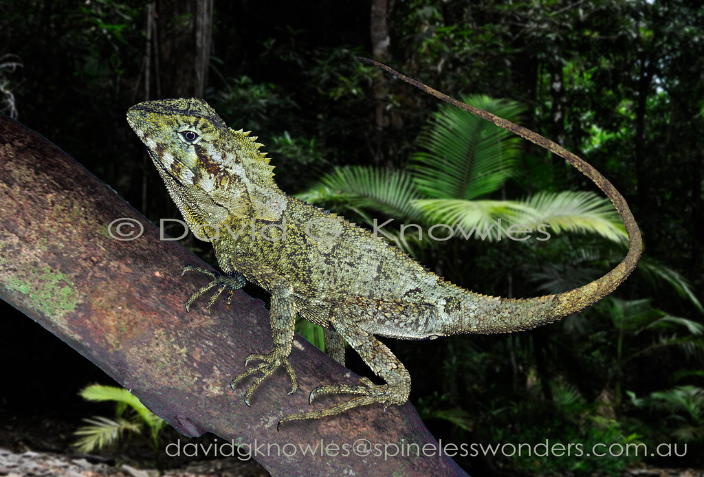 Adult Southern Forest dragons, unlike juveniles, spend most of their time perched on lichen-covered saplings and vines where they watch for prey on surrounding vegetation and on the ground below