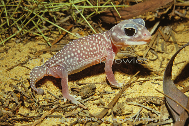 Starred Knob-tailed Gecko about to clean eye with tongue