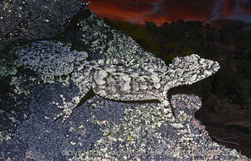 Border Leaftail Gecko emerges at dusk to forage