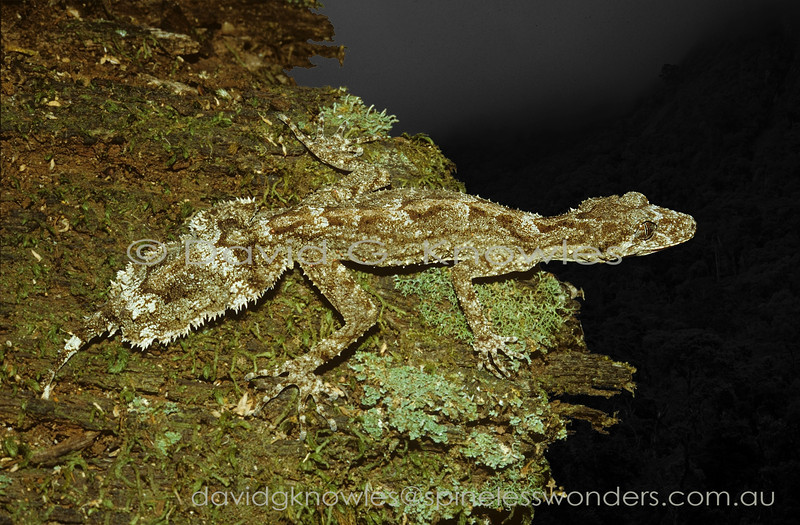 Southern Leaftail Gecko surveys territory