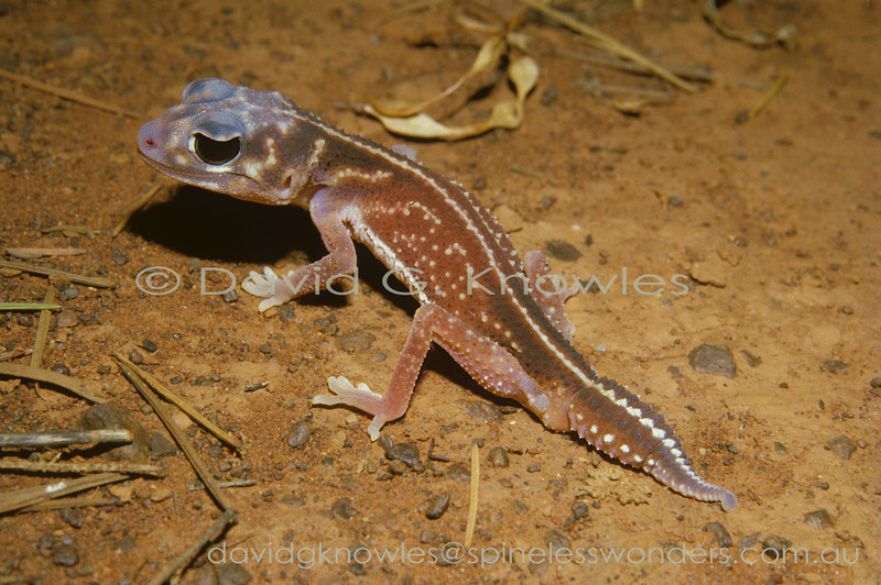 Midline Knob-tailed Gecko prowls gibber plain