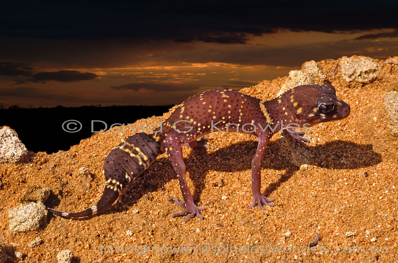 Thick-tailed Gecko enacts defensive pushup response