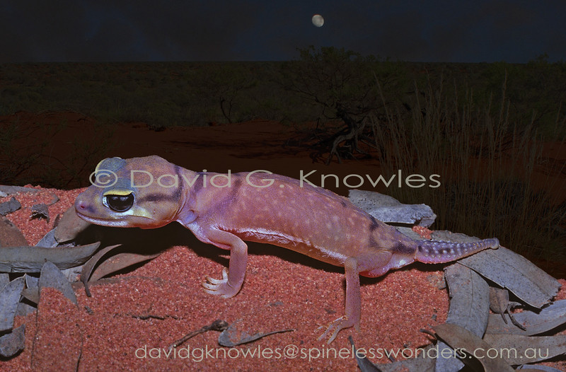 Pale Knob-tailed Gecko returns to day burrow at dawn