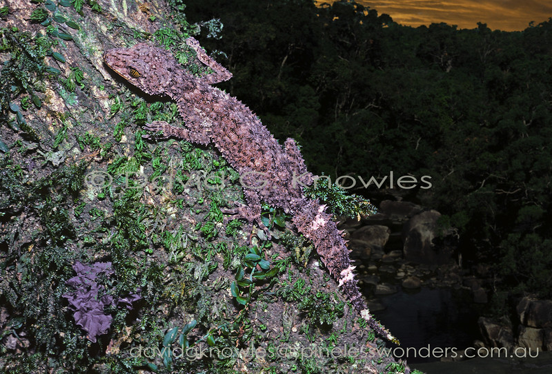 Pepper-bellied Broadtail Gecko begins to forage at dusk