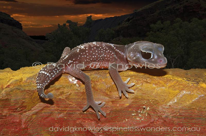 Subadult Pilbara Smooth Knob-tailed Gecko emerges at dusk to forage