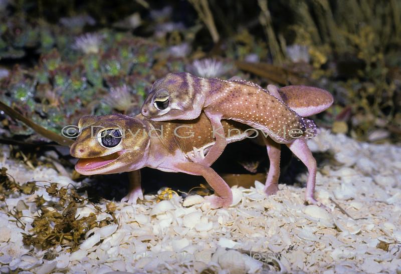 Smooth Knob-tailed Geckos mating