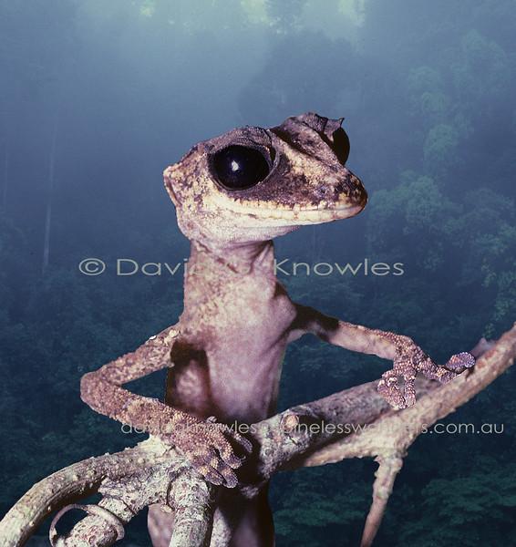 Chameleon Gecko climbs over a vine