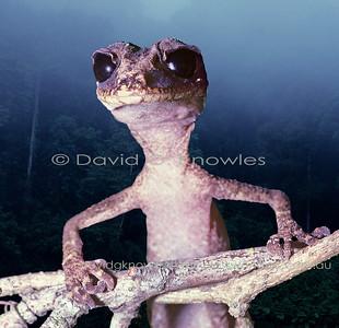 Australian Lizards Carphodactylidae (Chameleon Gecko, Knobtail Geckos; Thick-tailed Geckos)