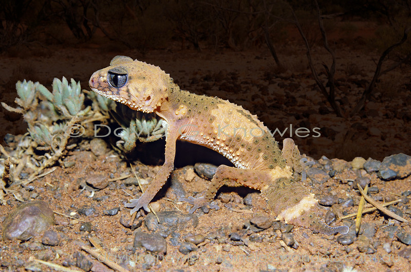 Banded Knob-tailed Gecko spies prey at dusk