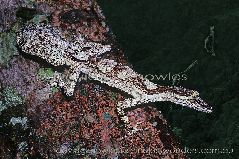 Northern Leaftail Gecko surveys territory