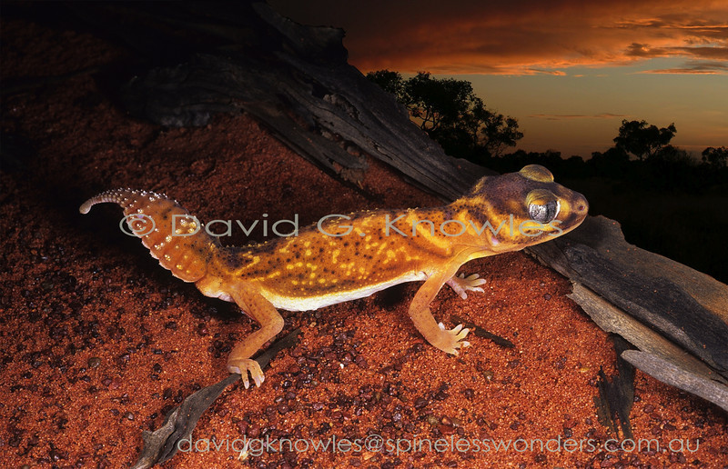 Smooth Knob-tailed Gecko arises at dusk