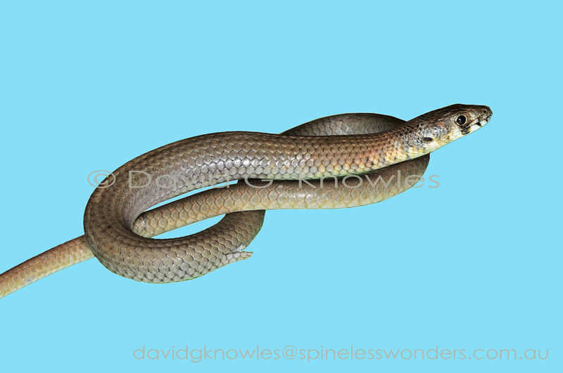 Fraser's Legless Lizard showing hindlimb 'flap'
