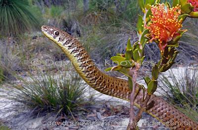Australian Lizards Pygopodidae (Legless Lizards)