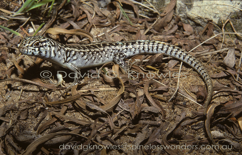 Heath Skink forages for insects amongst leaf litter