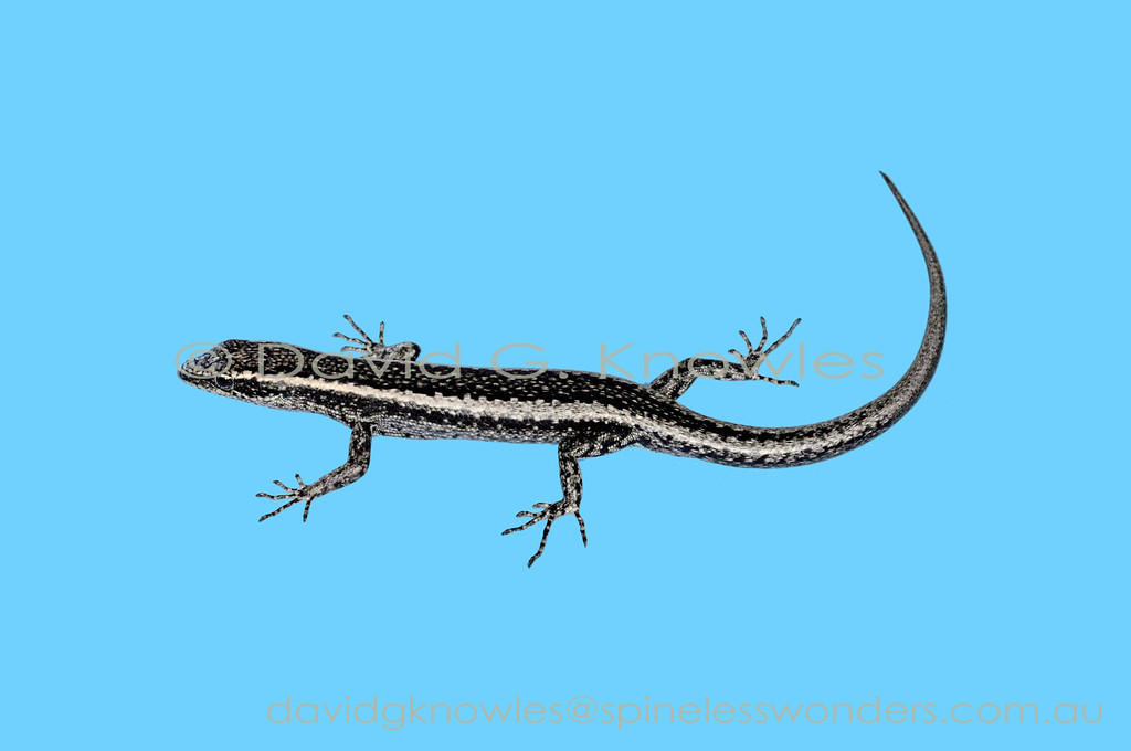 Fence Skink with regrown tail tip