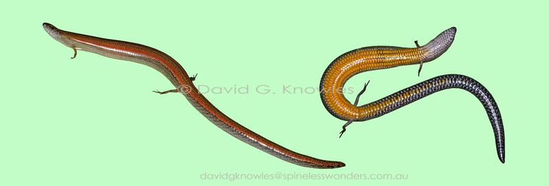 Two-toed Mulch Skink on uniform background showing belly colour