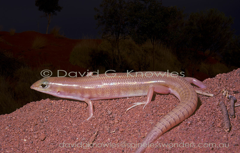 Western Narrow-banded Sandswimmer emerges from dune soil to forage at dusk