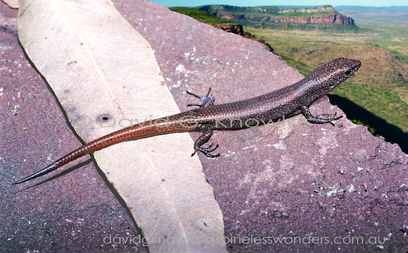 Lygisaurus aeratus wonders whether they have relatives in the mountains to the east???