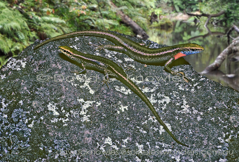 A pair of Rainbow Skinks bask in a sunny creekside glade