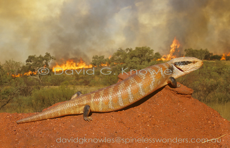 This Centralian Blue-tongue better run to a large burrow as fast as its small legs can take it before it is roasted