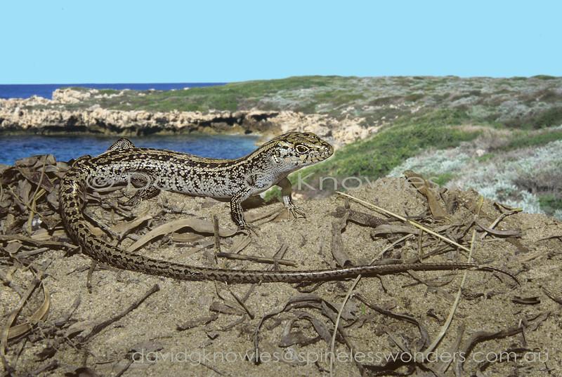 Jurien Bay Rock Skink showing elongated tail