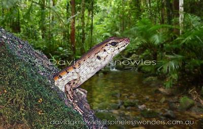 Australian Lizards Scincidae (Skinks)