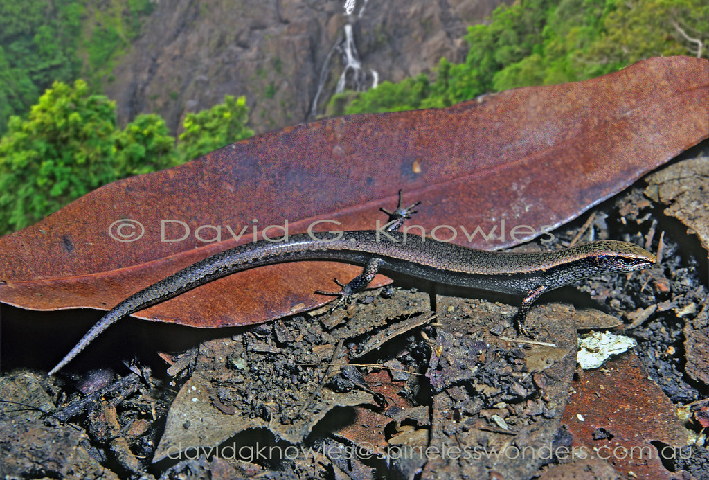 Garden Skink with a view